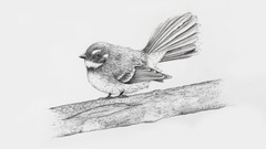 Draw a realistic Fantail using pencil